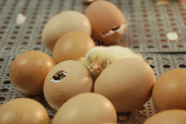 baby-chicks-hatching