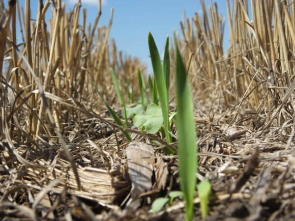 no till gardening: no till cover crops