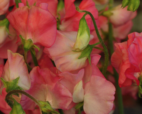 sweet-pea-flowering