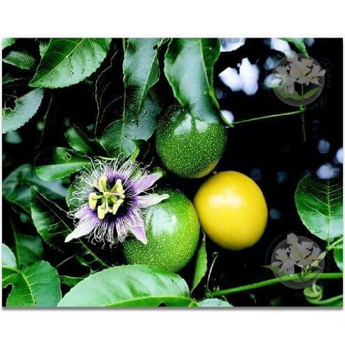 Lilikoi Hawaiian Passion Fruit Seeds Insteading