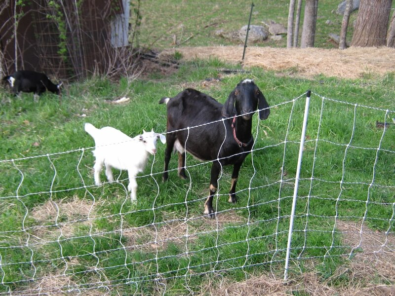 temporary fencing for rental goats
