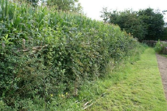 laid hedge