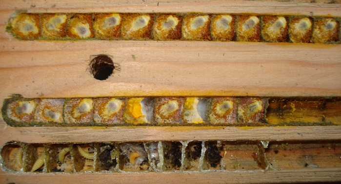 solitary bee cells