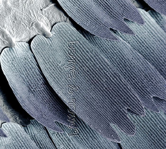 butterfly wing magnified